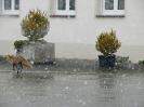 Fuchs im Dorf